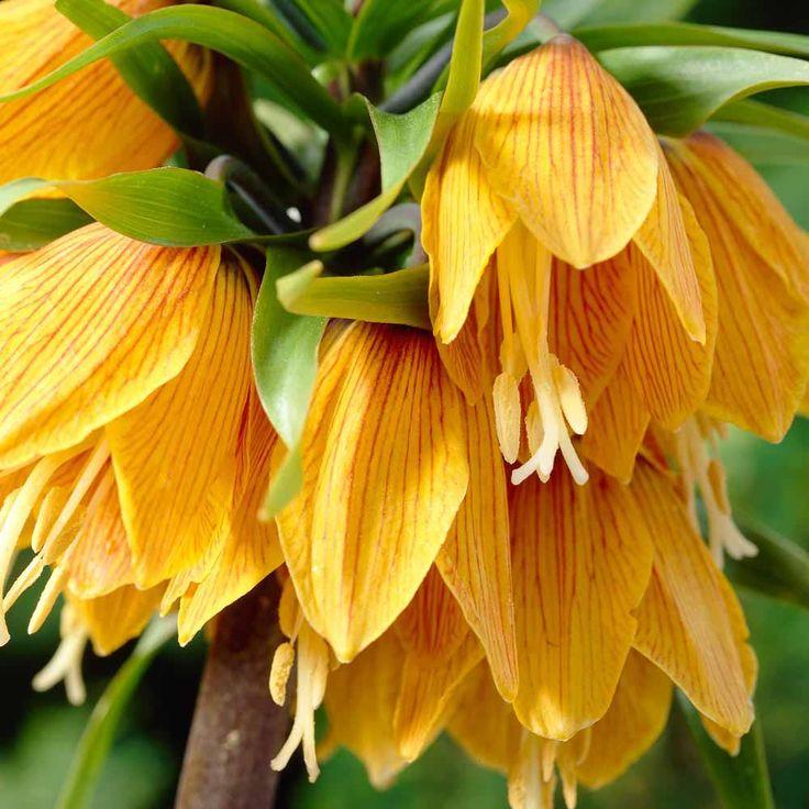 Fritillaria imperialis 'Pinstripe'