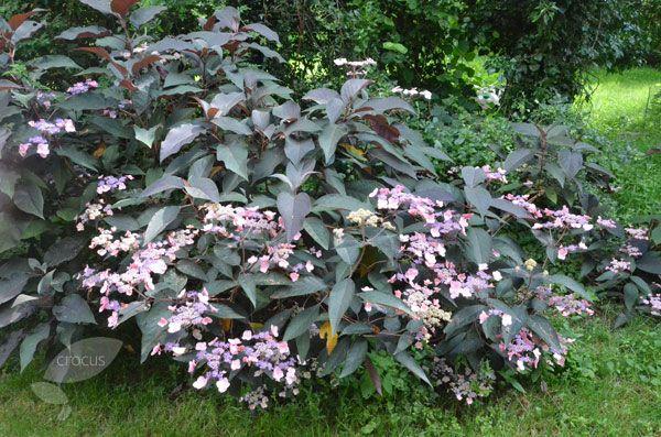 Buy rough-leaved hydrangea Hydrangea aspera 'Hot Chocolate = ('Hpopr012') (PBR)': Delivery by Crocus