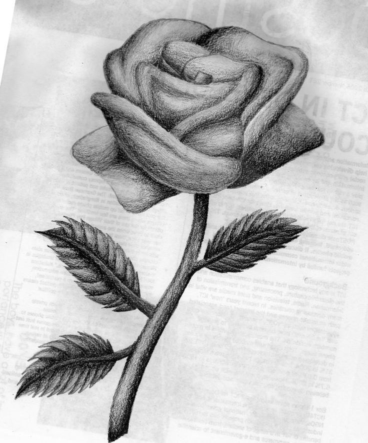This is an image of Exhilarating Beautiful Rose Drawing