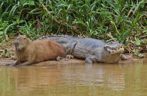 他の動物と仲良しのカピバラ09
