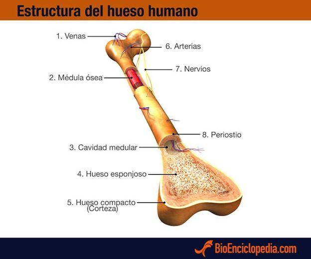 Estructura de los huesos.