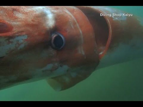 Giant Deep Sea Squid Caught On Camera ; A giant deep sea squid was caught on camera off of Japan's Toyama Bay on Christmas Eve. Even though it's extremely rare for a giant squid to swim this close to shore,