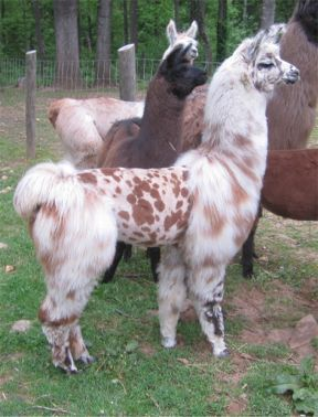 They should NOT have shaved this llama! It would be soo cute unshaved!