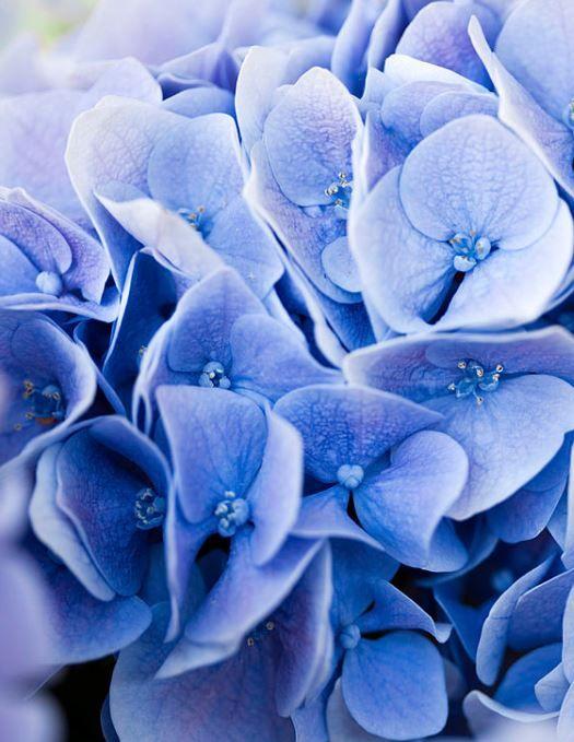 Le Bleu à Rungis : l'hortensia bleu