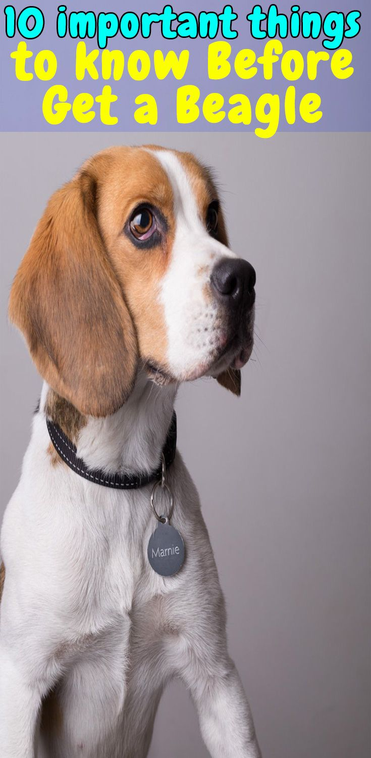 10 Interesting Facts About Beagle Dog Beagle Facts Puppies