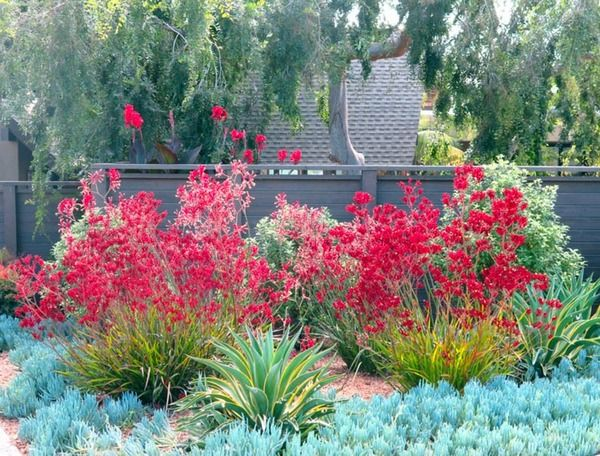 A glorious mix of colors, shapes and textures for a long-lasting impact. Blooming over a long season extending from late spring to fall, bright red and pink Kangaroo Paws (Anigozanthus) cheerfully contrast with the evergreen ground-hugging Blue Chalsticks (Senecio mandraliscae) and the incredibly elegant Agave demestiana 'Variegata'.