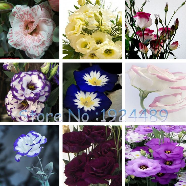 Eustoma Seeds Perennial Flowering Plants Lisianthus Multicolor for DIY Home & Garden - 120 PCS