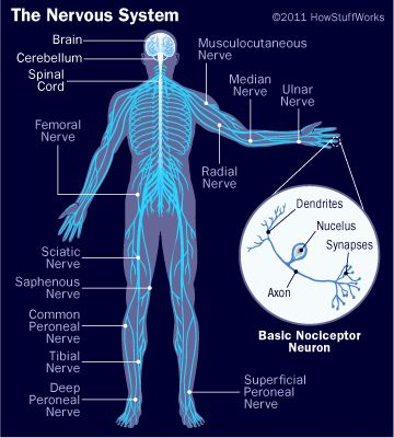 Your brain, spinal cord and peripheral nerves make up a complex, integrated information-processing and control system known as your central nervous system. In tandem, they regulate all the conscious and unconscious facets of your life. The scientific study of the brain and nervous system is called neuroscience or neurobiology.