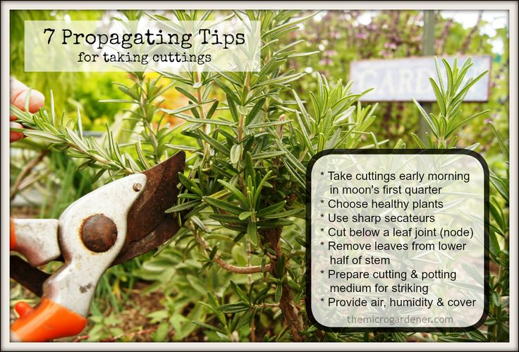7 PROPAGATING TIPS FOR TAKING CUTTINGS: Want to grow your garden for free? Follow these simple steps to multiply your favourite plants without buying new ones! Boost your success by using a Moon Calendar to take/strike cuttings at the optimum time of the month. More info @ http://themicrogardener.com/store/#!/~/product/category=0&id=6524716 | The Micro Gardener