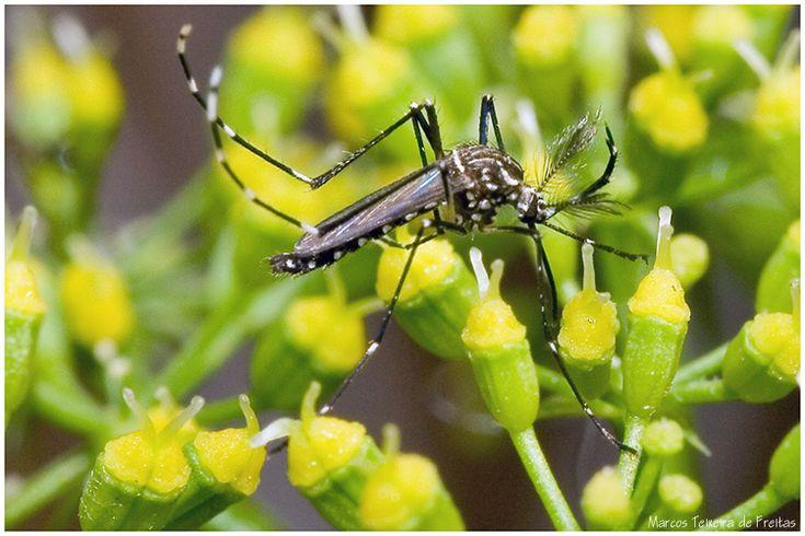 Transmitidas pelo Aedes aegypti, zika, dengue e chikungunya apresentam sintomas semelhantes. A forma de manifestações desses efeitos, porém, guarda algumas diferenças. Conheça quais são elas