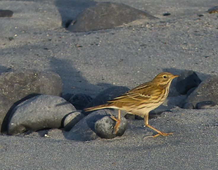 Meadow pipit, on the beach at Finavarra, December 2016.