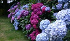 I need this hydrangea garden. Perhaps along the side fence?