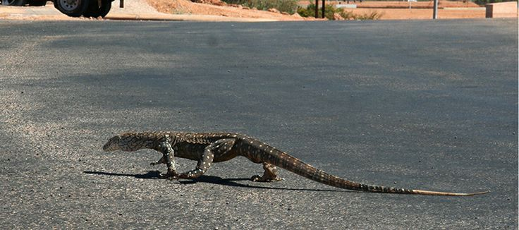 There are more lizards than humans in this town - where are we?