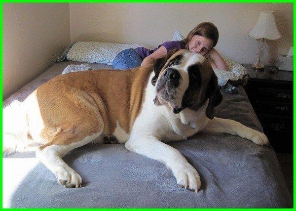 42+ Anjing irish wolfhound terupdate