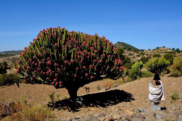 Euphorbia candelabrum est une plante succulente de la famille des Euphorbiaceae.Cette espèce est endémique de la Corne de l'Afrique et de l'Afrique de l'est. Caractéristique des zones habitées de moyenne altitude.