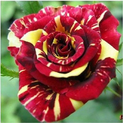 RARE Metior Shower Rose Flower Seeds Garden Plant Other Colors | eBay