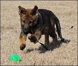 Schutzhund / IPO Training - Learn about this amazing dog sport! Obedience foundations: http://www.schutzhund-training.com/obedience.html