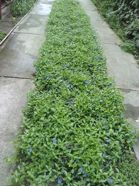 talajtakaró futó növény