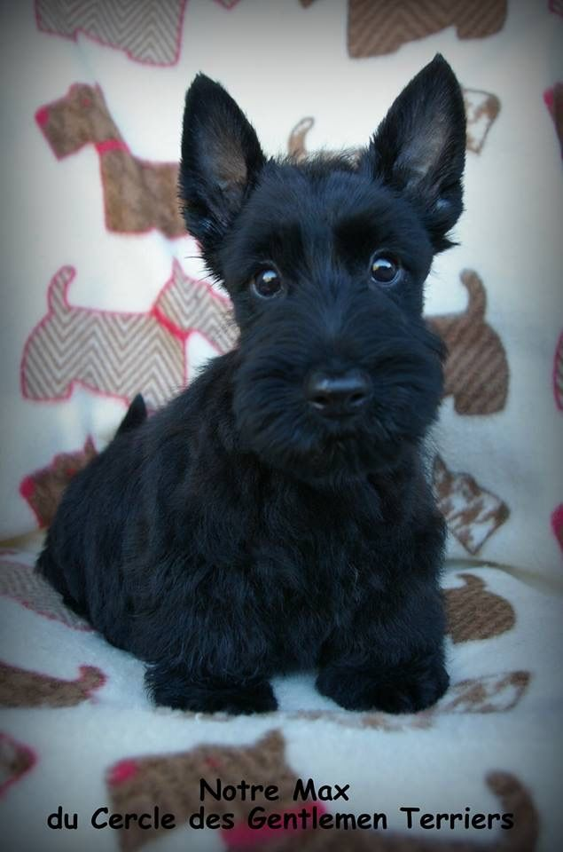 baby scottish terrier 3061 best scottish terrier images on pinterest scottish 4337