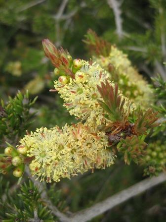Callistemon sieberi syn C. pityoides • Australian Native Plants • Plants • 800.701.6517