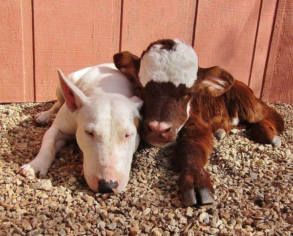 Mini Cow Saved From Auction House Loves Every Dog She Meets