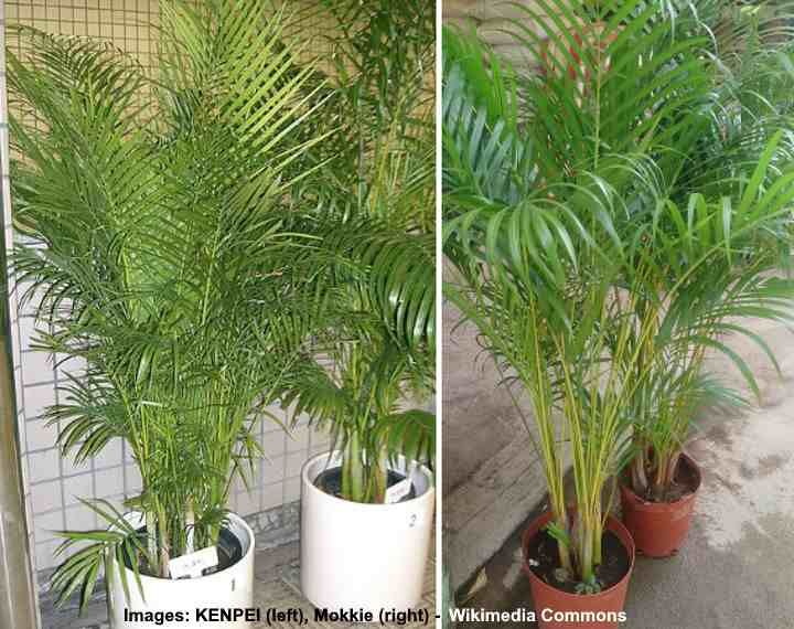 Areca palm care complete guide to growing areca palm tree