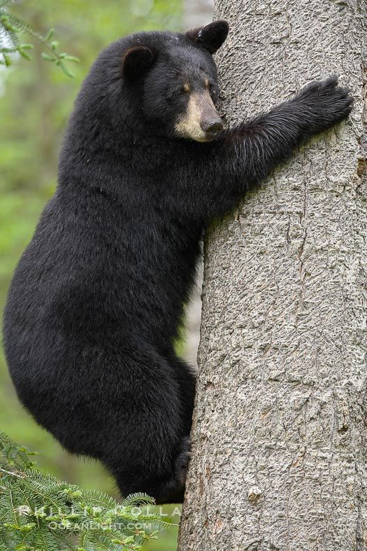 black-bear-climbing-tree-photograph-18767-289019.jpg