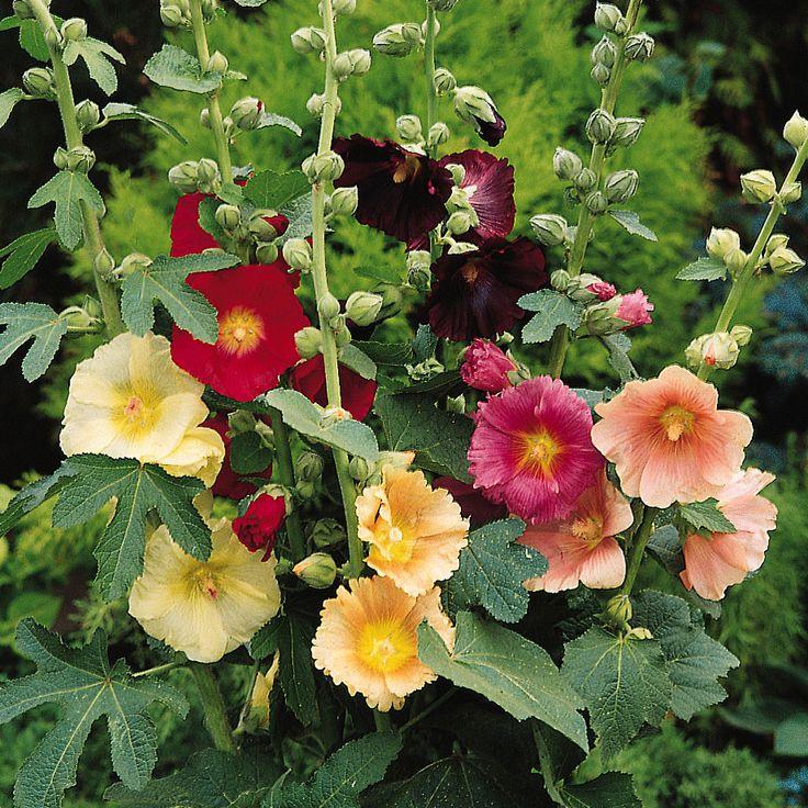 Enkelblommande stockros med stora, stilrena blommor i klara färger, bl.a. rött, rosa och g...