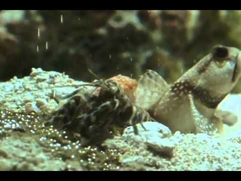 goby fish and shrimp symbiotic relationship definition