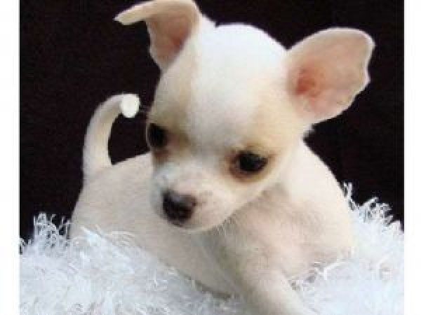Teacup Chihuahua   Playful and adorable ...