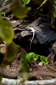 """""""A moment when a Bronzeback snake took the life of a skink and ousted it from the survival race.""""  Join the #MyNatureMoment movement here: bit.ly/24yVWYL"""