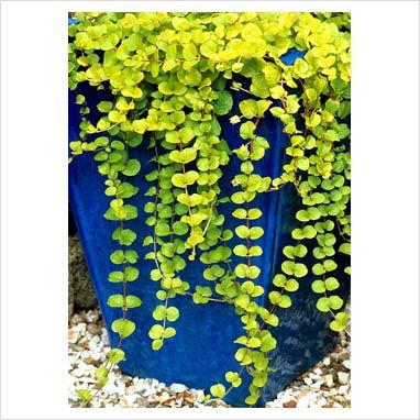 """simplicity with a colorful punch - tall blue glazed pot with creeping jenny  ( Lysimachia nummularia """"Aurea) trailing down the sides"""