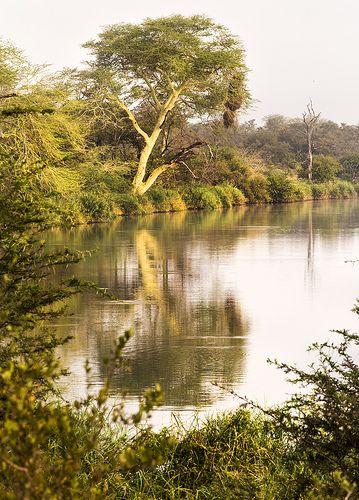 Fever tree . Kruger National Park - South Africa.