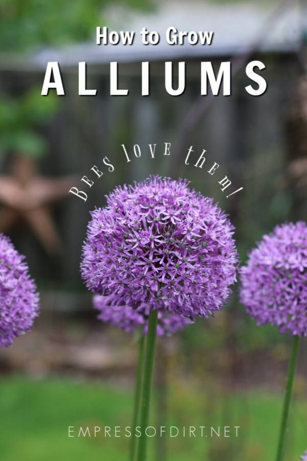 Allium Growing Tips Spring Flowering Bulbs Garden Bulbs Flower Landscape