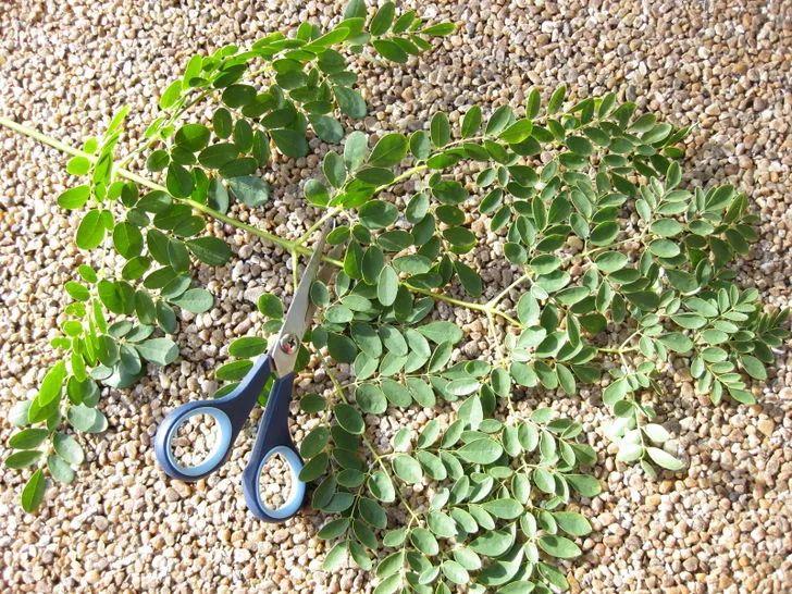 Cómo hacer crecer un árbol de Moringa: 4 pasos