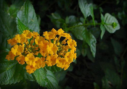 https://flic.kr/p/anWGi | Lantana |  Canon PowerShot S1 IS Photographed August 17, 2005 7:11 PM Some of our lantana Lantana is a genus of about 150 species of perennial flowering plants, native to tropical regions of the Americas, Africa and existing as an imported plant in numerous areas, especially in the Australian-Pacific region. The genus includes both herbaceous plants and shrubs growing to 0.5-2 m tall. Their common names are shrub verbenas or lantanas.  Lantana's aromatic flower…