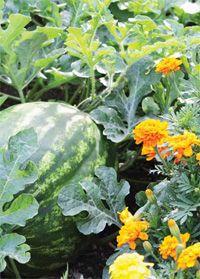 hasznos növénytársítások