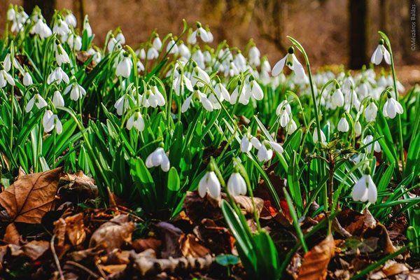 Hófehér virágmező az Alcsúti Arborétumban. Két és fél hektáron 7 hóvirágfaj 24 fajtájában gyönyörködhetnek a látogatók