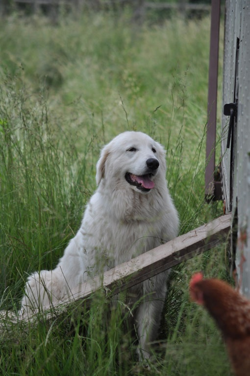 Bea the Maremma Sheepdog that guards the chicken wagon