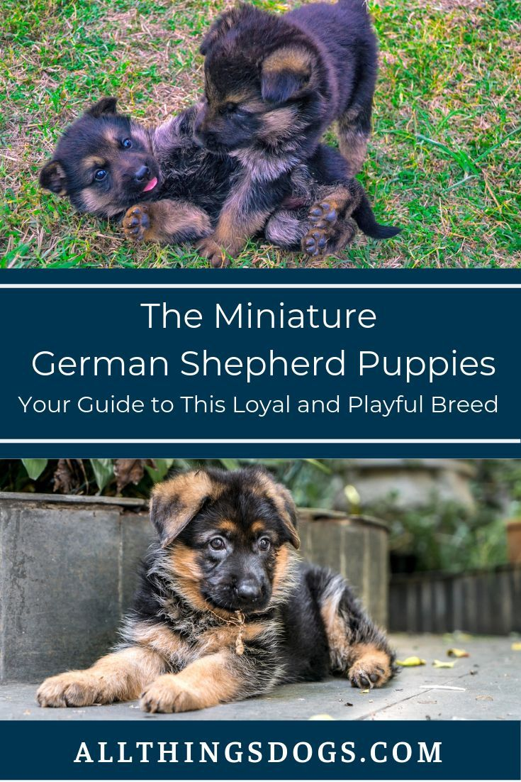 Mini German Shepherd Puppies Are Full Of Energy And Their Playful