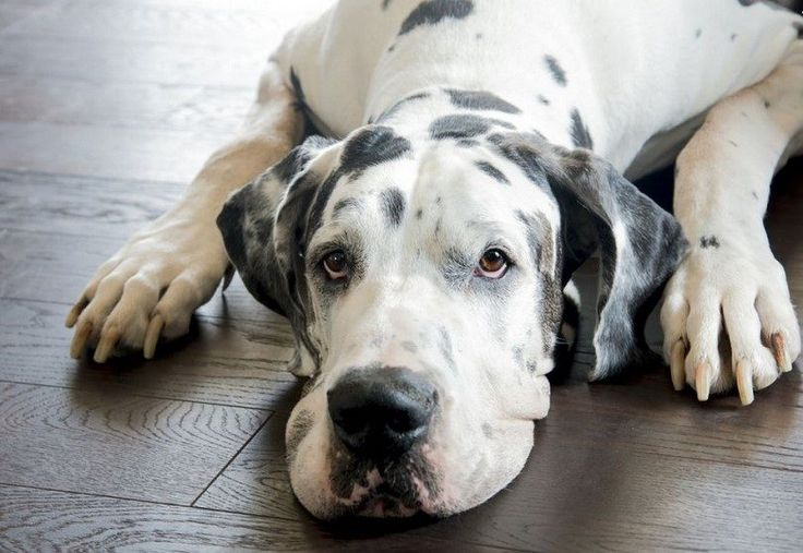 Canine Bloat (GDV) is a Pet Emergency   Australian Dog Lover - Bloat is a very serious condition that should be considered a life-threatening emergency when it occurs. Dogs can die of bloat within hours even with aggressive treatment.
