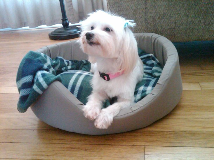 Holly (rescued from Magnificent Mutt's Rescue in Hillside, Illinois) after her first grooming -  Holly says I FEEL GOOD!