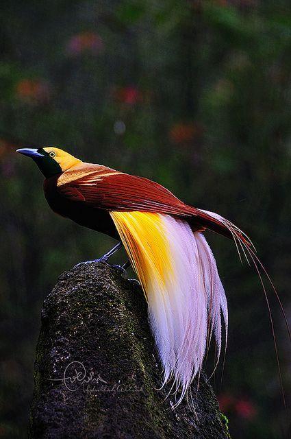 Картинки по запросу greater bird of paradise flying