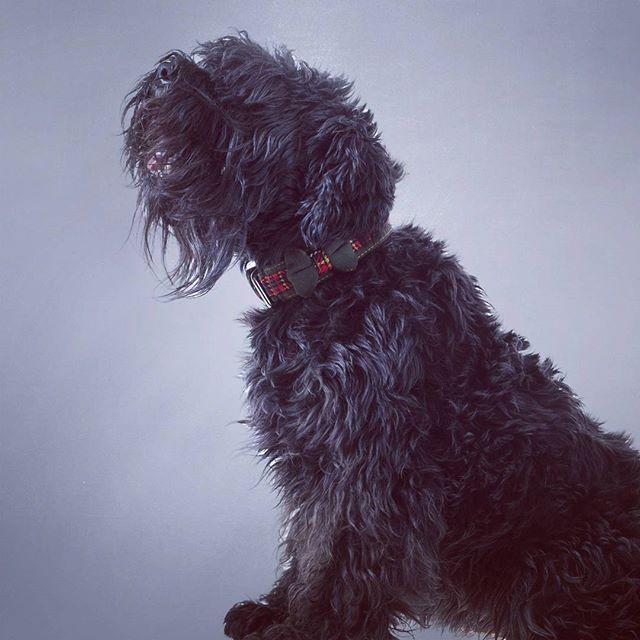 Todo un lord escocés con un collar nanitos. #perros #escoces #collarparaperros #dogcollar #perrosdeinstagram #pajarita #bowtie #trend