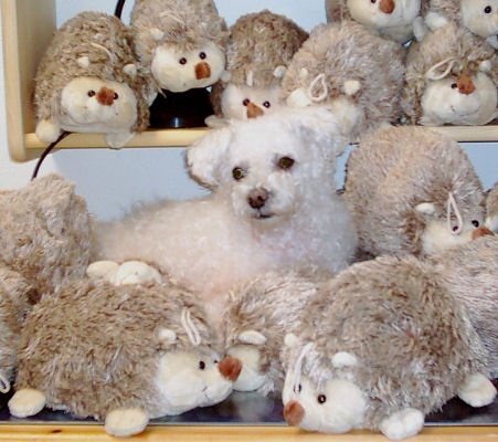Muki 2007b - Bichon Bolognese / Boloňský psík