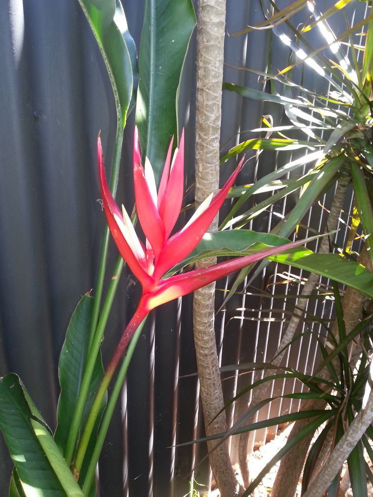 MY BELOVED HELICONIA.