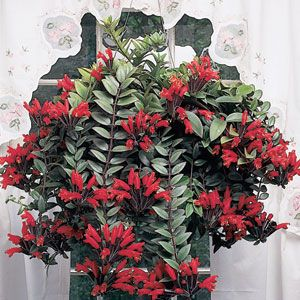 Lipstick Plant (Aeschynanthus radicans)  One of best houseplants for the hanging basket, it takes lower light levels and dry conditions with ease. This free-flowering species has cascading, shiny green leaves with burgundy underneath. Rich red flowers emerge from black calyces with waves of bloom appearing throughout the year.