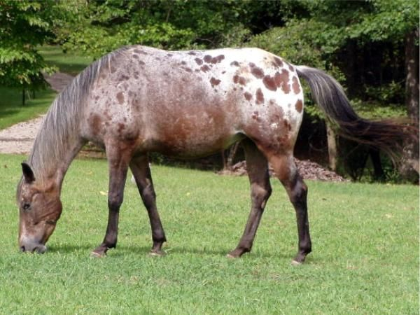 bay appaloosa | Horse Color Ref = appaloosa | Pinterest ... | 600 x 450 jpeg 57kB