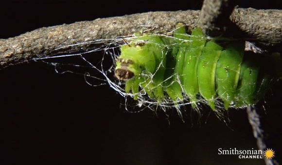 Timelapse Footage of a Giant Caterpillar Weaving Its Cocoon (2:34)
