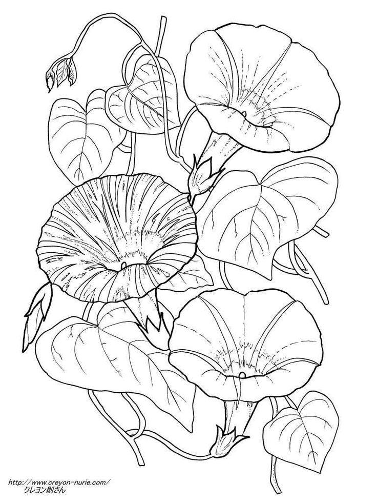 3種の朝顔の植物画の塗り絵の下絵、画像